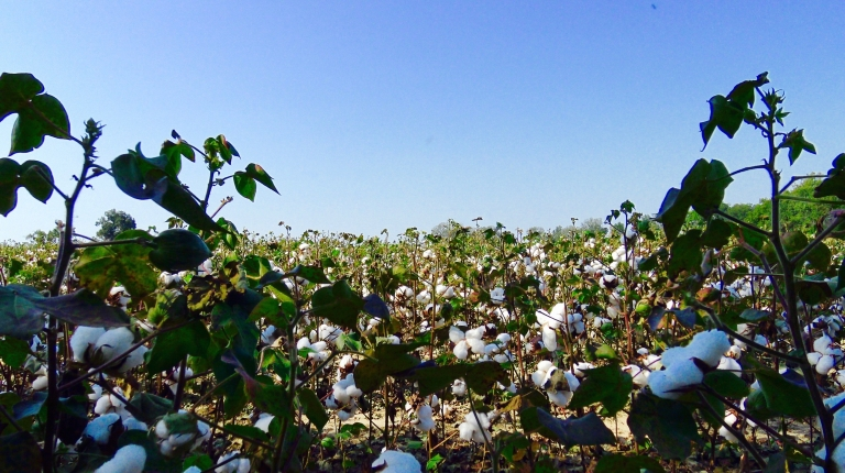 Nutbush Cotton Fields .jpg